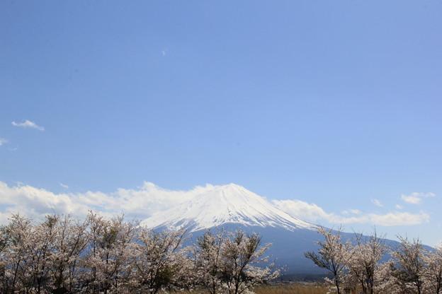 満開の桜と富士山(大石公園2018年4月8日)