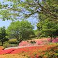 花の斜面に咲くツツジ(あいかわ公園2018年4月22日)