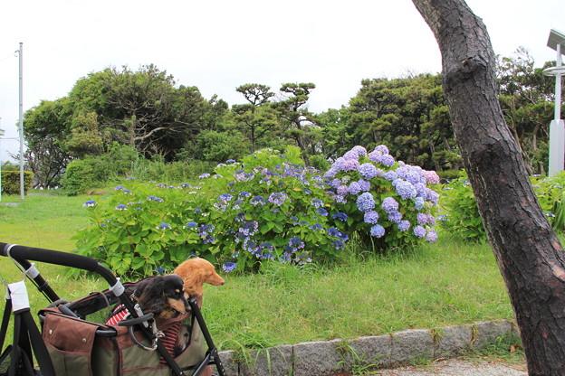 写真: 城ヶ島公園のあじさいを見に来たよ(2018年6月16日)