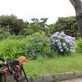 城ヶ島公園のあじさいを見に来たよ(2018年6月16日)