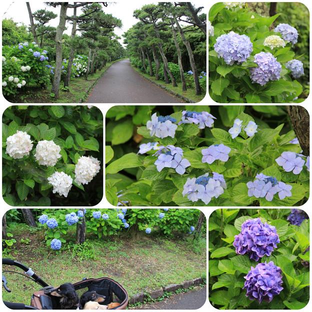 あじさい咲く城ヶ島公園をお散歩(2018年6月16日)
