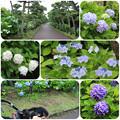 写真: あじさい咲く城ヶ島公園をお散歩(2018年6月16日)