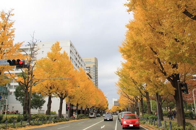山下公園通りの銀杏並木(2018年12月2日)