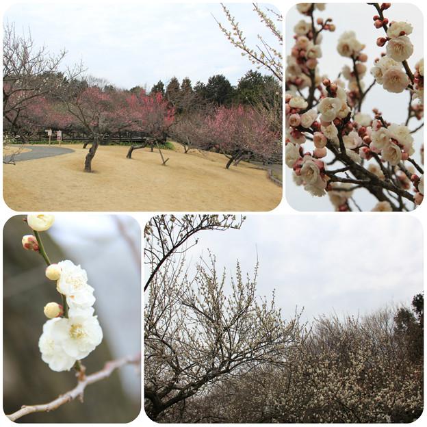 渓流の梅園(小田原フラワーガーデン2019/2/16)