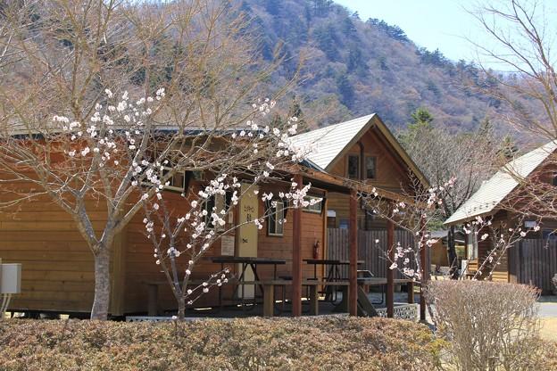 塩原温泉郷は梅の季節