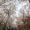 桜のトンネル(烏ヶ森公園2019年4月14日)