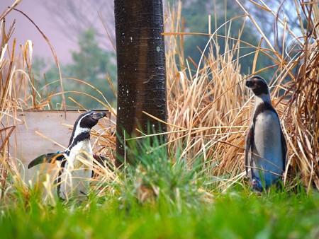 20140330 ペンヒル 雨のペンギンヒルズ01