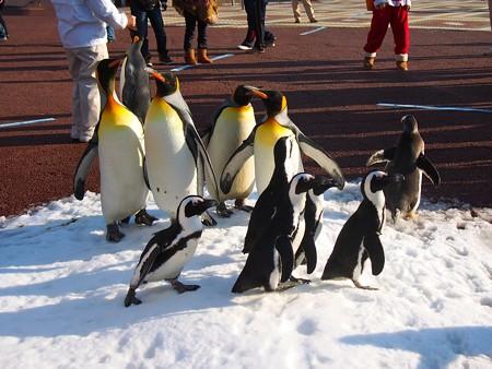 20131207 アドベン ペンギンパレード32