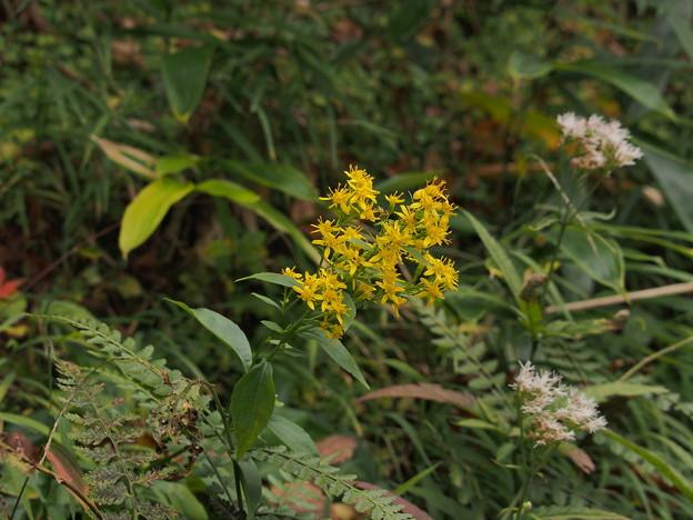 アキノキリンソウ Solidago virgaurea subsp. asiatica