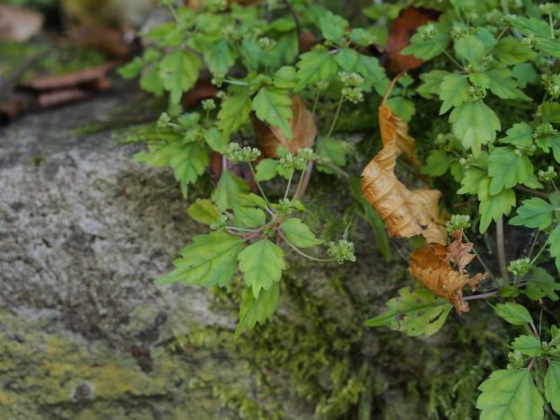 ヤマミズ Pilea japonica