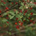 Photos: コマユミ Euonymus alatus var. alatus f. striatus