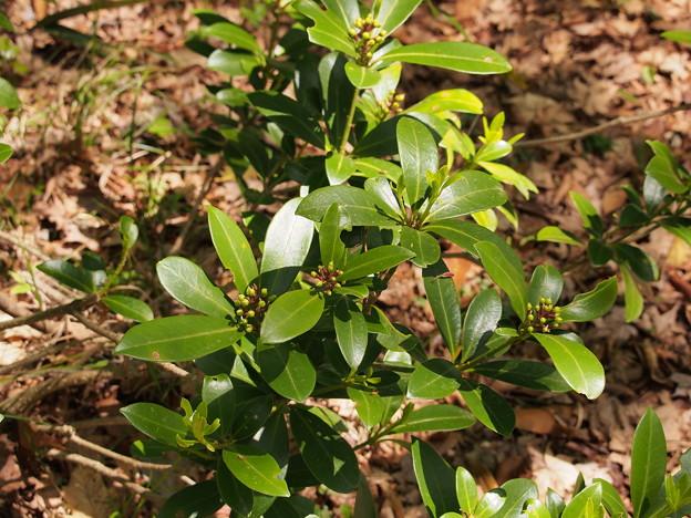 ミヤマシキミ Skimmia japonica var. japonica P5051376