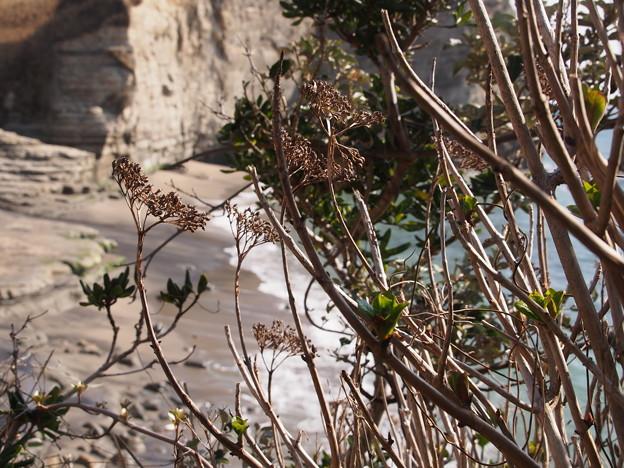ガクアジサイ Hydrangea macrophylla f. normalis P3046189