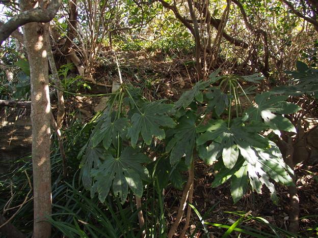 ヤツデ Fatsia japonica P3046254