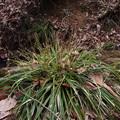 ミヤマカンスゲ Carex multifolia var. multifolia P3236477