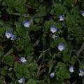 オオイヌノフグリ Veronica persica P3246503
