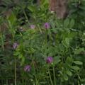 ヤハズエンドウ Vicia sativa subsp. nigra P3246506