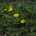 セイヨウタンポポ Taraxacum officinale P3246550