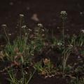 ナズナ Capsella bursa-pastoris P3246558