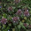ヒメオドリコソウ Lamium purpureum P3246560