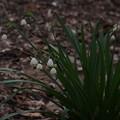 スノードロップ Galanthus nivalis P3246580