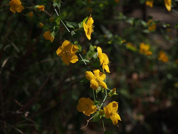 ヤマブキ Kerria japonica P3300105