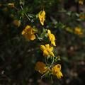 Photos: ヤマブキ Kerria japonica P3300105