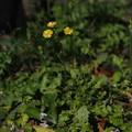 Photos: オニタビラコ Youngia japonica P3300117