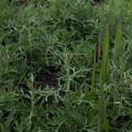 Photos: ヒメヨモギ Artemisia lancea P4156686