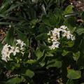 写真: スナビキソウ Heliotropium japonicum P4226829