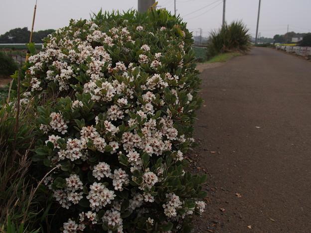 シャリンバイ Rhaphiolepis indica var. umbellata P4236913
