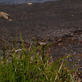 写真: ウキヤガラ Bolboschoenus fluviatilis subsp. yagara P4287002