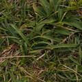 タマムラサキ Allium pseudojaponicum P4307058