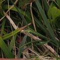 Photos: カニツリグサ Trisetum bifidum P4307068