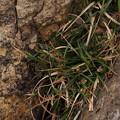 Photos: イソアオスゲ Carex meridiana P4307076