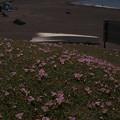 Photos: ハマヒルガオ Calystegia soldanella P5017115