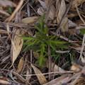 写真: ヒキヨモギ Siphonostegia chinensis P5017130