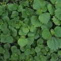 写真: ヤブマオ Boehmeria japonica var. longispica P5047157