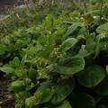 イヨカズラ Vincetoxicum japonicum P5084389