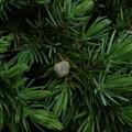 写真: オキナワハイネズ(オオシマハイネズ) Juniperus taxifolia var. lutchuensis P5084409