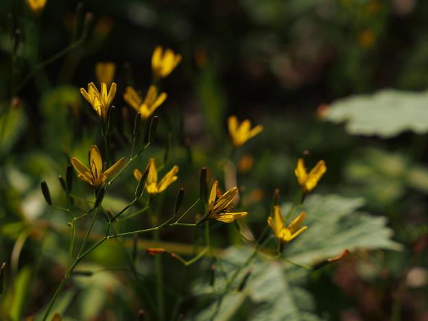 ニガナ Ixeridium dentatum subsp. dentatum