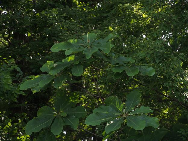 ホオノキ Magnolia obovata P5117331