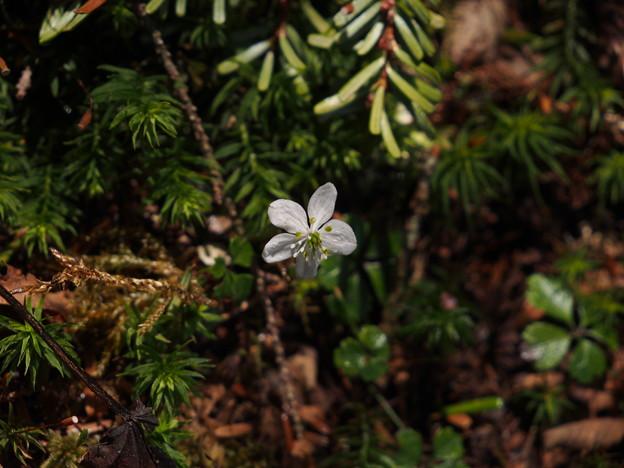 バイカオウレン Coptis quinquefolia P5197524