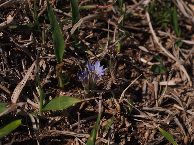 フデリンドウ Gentiana zollingeri P5197544