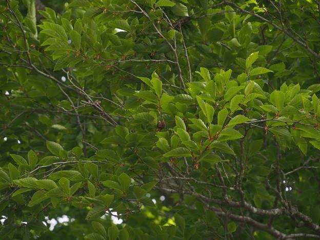 ブナ Fagus crenata P5267621