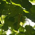 コウシンテツカエデ Acer nipponicum H.Hara subsp. orientale var. koshinense P5267622