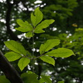 Photos: メグスリノキ Acer maximowiczianum P5267660