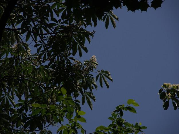 トチノキ Aesculus turbinata P5277691