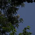 写真: トチノキ Aesculus turbinata P5277691