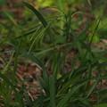 写真: カワラスゲ Carex incisa P5277726